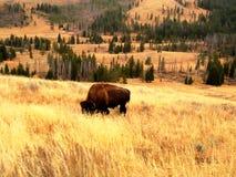 Buffalo grazing on yellow meadows. In Yellowstone National Park (Wyoming, USA Stock Photo