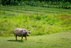 Buffalo. On a green field. South Thailand Royalty Free Stock Photo