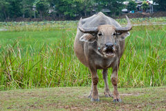 Buffalo in the green fields. Stock Photography
