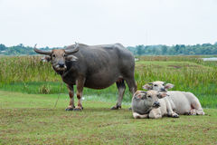 Buffalo in the green fields. Royalty Free Stock Images