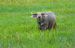 Buffalo in the green fields. Royalty Free Stock Image