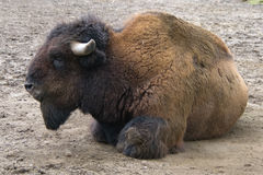 Buffalo on the ground Stock Photography