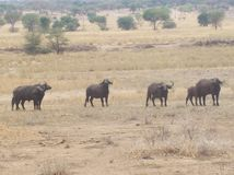 Buffalo groupent en parc de safari Photographie stock