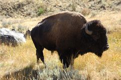 Buffalo Hanging Out. Buffalo in Yellowstone National Park standing in a field Stock Photography