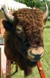 Buffalo head. At a park Royalty Free Stock Image