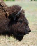 Buffalo Head Stock Photo