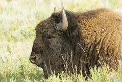 Buffalo head 2. An American buffalo resting in Custer State Park in the Black Hills of South Dakota. The largest land mammal in North America Stock Photos