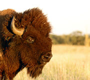 Buffalo head. North American bison in profile, close-up royalty free stock photos