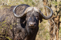 Buffalo Head Horns Animal Wildlife Stock Image