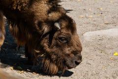 Buffalo head stock photos
