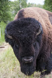Buffalo Head Stock Image
