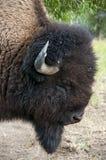 Buffalo Head Stock Photography