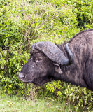 Buffalo head Royalty Free Stock Photography