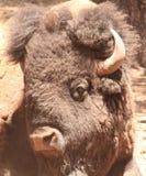 Buffalo head. Large head shot of Bison head Stock Image