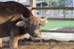 Buffalo head in the pen Royalty Free Stock Photos