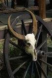 buffalo head skull  Royalty Free Stock Images