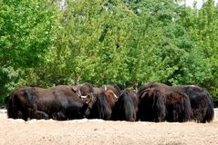 Buffalo herd Stock Photos