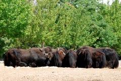 Buffalo herd. A buffalo herd on a field and trees Stock Photos