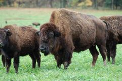 Buffalo Herd. A buffalo herd grazing on a farm in Pennsylvania royalty free stock image