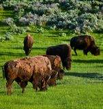 Buffalo herd Royalty Free Stock Photography