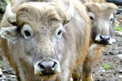 Buffalo in Herd Stock Photography