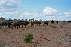 Buffalo herd. On the way to water,search in african savanna food.as far as the eye can see buffalo stock photos