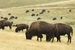 Buffalo Herd. A herd of American buffalo grazingt in Custer State Park in the Black Hills of South Dakota. The largest land mammal in North America Stock Photo