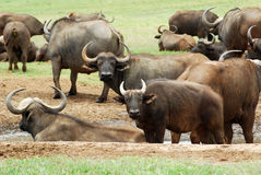 Buffalo herd. A wild Buffalo herd relaxing at the water hole in a game park in South Africa Stock Image