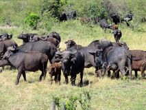 Buffalo herd and calf. Make their way through the African landscape stock images
