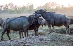 Buffalo herd in a countryside village, Thailand. Asia stock images