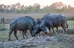 Buffalo herd in a countryside village, Thailand. Asia royalty free stock photos