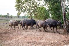 Buffalo herd in a countryside village, Thailand. Asia stock photo