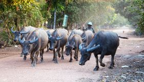 Buffalo herd in a countryside village, Thailand.  royalty free stock image
