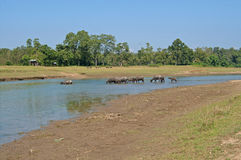 Buffalo herd crossing river, Nepal Royalty Free Stock Photo
