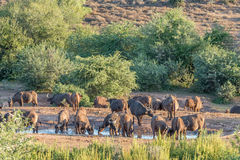 Buffalo herd drinking at sunset Stock Photo