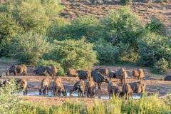 Buffalo herd drinking at sunset Stock Photo