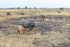 Buffalo herd. Eating grass in the fields on rural areas of Thailand royalty free stock photography