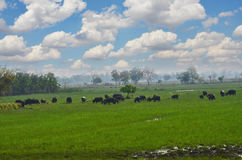 Buffalo herd are eating grass in green field. Under cloudy sky royalty free stock images