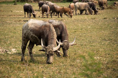 Buffalo and herd are eating grass in outdoor farm park Royalty Free Stock Photos