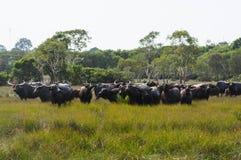 Buffalo herd. The Buffalo herd on the field royalty free stock image
