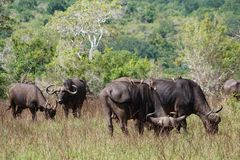 Buffalo herd with a gadfly on his back in the Shimba Hills. In Kenya royalty free stock images