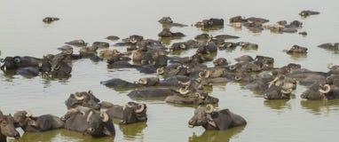 Buffalo herd going to drink. Buffalo herd enjoying bath in summer weather stock image