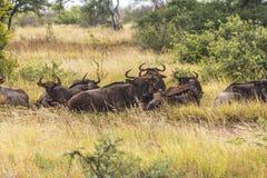 Buffalo herd in the grass inside Kruger Park, South Africa. Buffalo herd in the grass inside Kruger Park in South Africa royalty free stock images