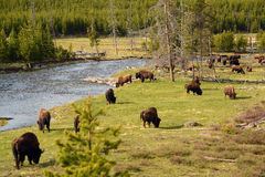 Buffalo herd grazing along the Yellowstone River Royalty Free Stock Images