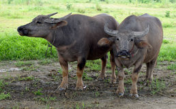 Buffalo herd Stock Image