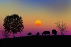 Buffalo herd on the hill in the evening. In the countryside in the winter stock images