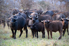 Buffalo herd. Klaserie Private Nature Reserve, South Africa stock photos
