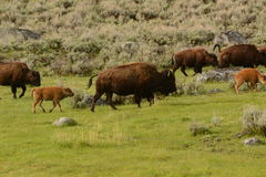 Buffalo herd with mothers and calves on migration Stock Photos
