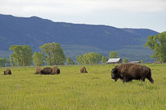 Buffalo herd on the move in Yellowstone. Stock Photos