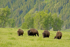 Buffalo herd on the move in Yellowstone. Royalty Free Stock Photography